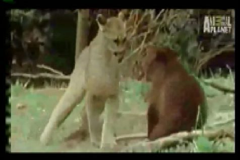 Mountain Lion Fights Bear